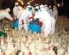Upozorenje: slučajevi ptičije ili kokošije gripe mogući u regionu i BiH